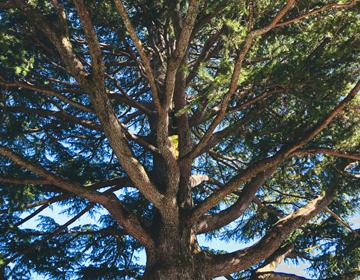 秘密の庭の品評会「見上げるヒマラヤ杉」写真