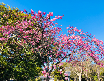 江ノ島「川津桜」の写真
